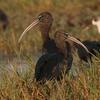Glossy Ibis - Chilika - Odisha