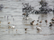 Godwits And Gulls