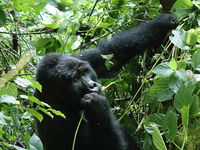 4 Day Gorilla Tracking And Virunga Hike Experience