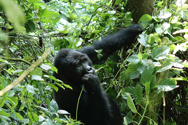 4 Day Gorilla Tracking And Virunga Hike Experience Photos