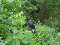 Gorilla ,Bwindi Impenetrable National Park