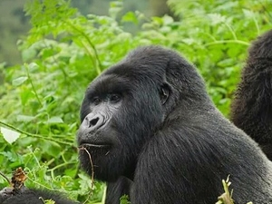 1 Day Gorilla Tracking Fotos