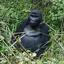 Gorilla Kids