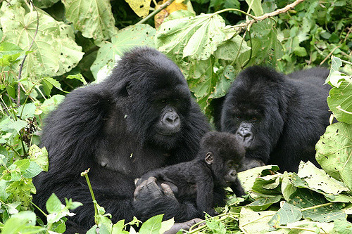 Gorilla Tracking Rwanda - Exclusive Photos
