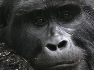 Rwanda Mountain Gorillas' Trek