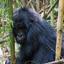 Gorilla Track Experience