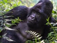 9 Days Uganda Gorilla Trekking