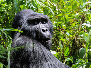 Ladies Only Gorilla Trekking and Savannah Safari in Uganda Photos