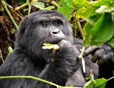 Gorilla UG Bwindi