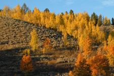 Grand Teton Autumn Aspens - Wyoming - USA