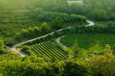 Grape Farms In Provence