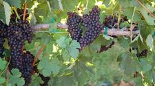 Grapes Along S R