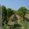 Grape Walking Path