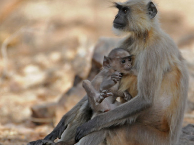 Gray Langur Mother With Her Baby At Ranthambhore