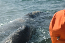 Gray Whale And Calf Passing The Boat