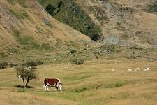 Grazing Cattle Inside Mount Aspiring National Park - South Island NZ