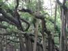 Great Banyan Tree Kol
