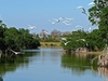 Great White Egrets Flying In Everglades FL