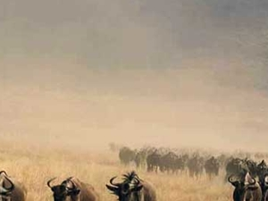 The Wildebeests Great Migrations Kenya & Tanzania Fotos