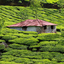 Green Tea Plantations Munnar
