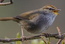 Grey-Sided Bush Warbler - Dzuluk Sikkim