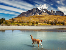 Guanaco Crossing The River