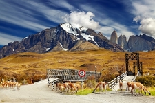 Wild Guanacos In Torres Del Paine National Park - Chile