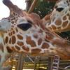 Giraffes In Metro Richmond Zoo