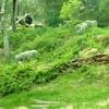 Gorillas In Habitatat Dallas Zoo