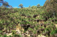Grass Trees Of Mount Cabrebald