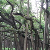 Branches Of The Banyan Tree