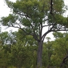 Jarrah Tree In National Park