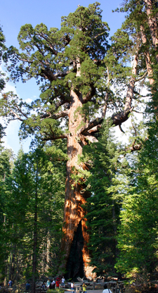 Grizzly Giant Giant Sequoia In Mariposa Grove