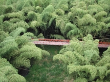 Guadua Bamboo Forest