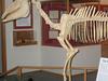Mounted Skeleton Of Hagerman Horse