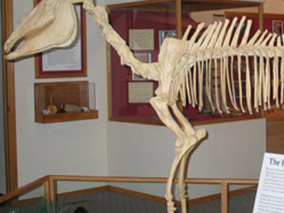 Mounted Skeleton Of Hagerman Horse