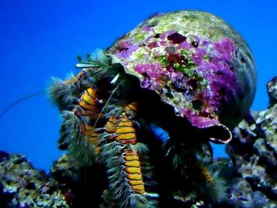 Hairy Yellow Hermit Crab - Waikiki Aquarium