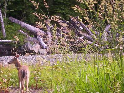 A Deer Near The Quatse River