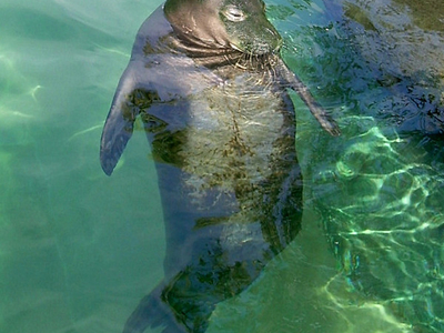 Hawaiian Monk Seal - Waikiki Aquarium