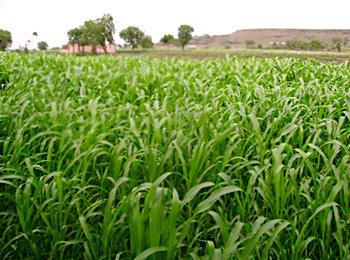 Hazaribagh-Kharif Crops