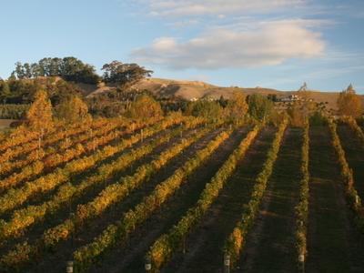 Hawke's Bay Vineyard In Autumn