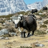 Herd Of Yaks Grazing Near Lobuche - Nepal