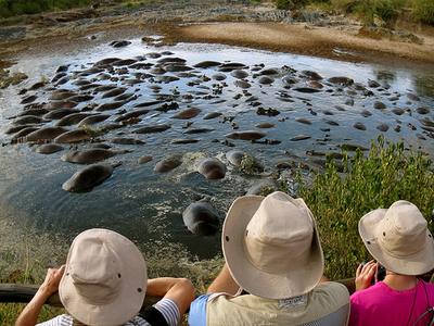Hippo Pool - Maasai Mara