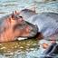 Hippos, Game Drive Uganda