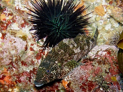 Hiwihiwi & Black Sea Urchin @ Poor Knights NZ Diving Site