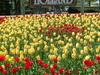 Holland  M I  Tulips  0 1