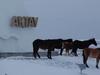 Horses In Mangystau Province Aktau
