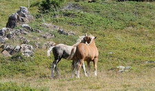 Horses In French Alps