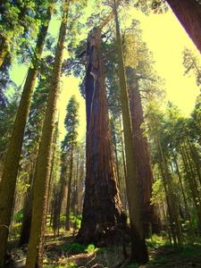 Hazelwood Tree