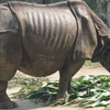 Rhino At Dhaka Zoo